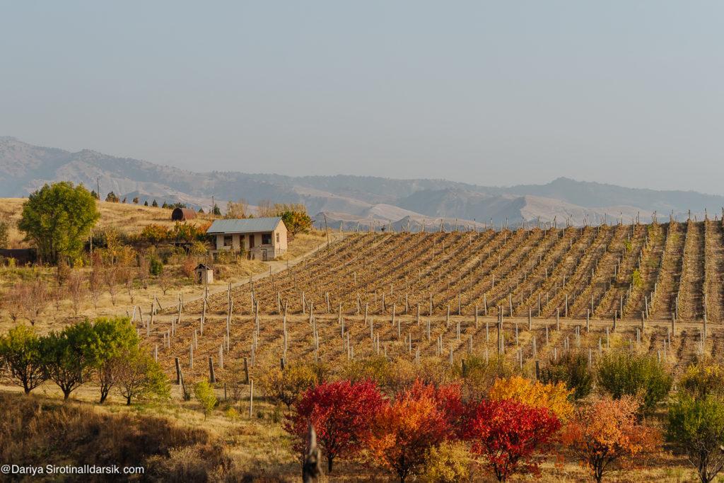 Виноделие в Узбекистане: исчерпывающий гид